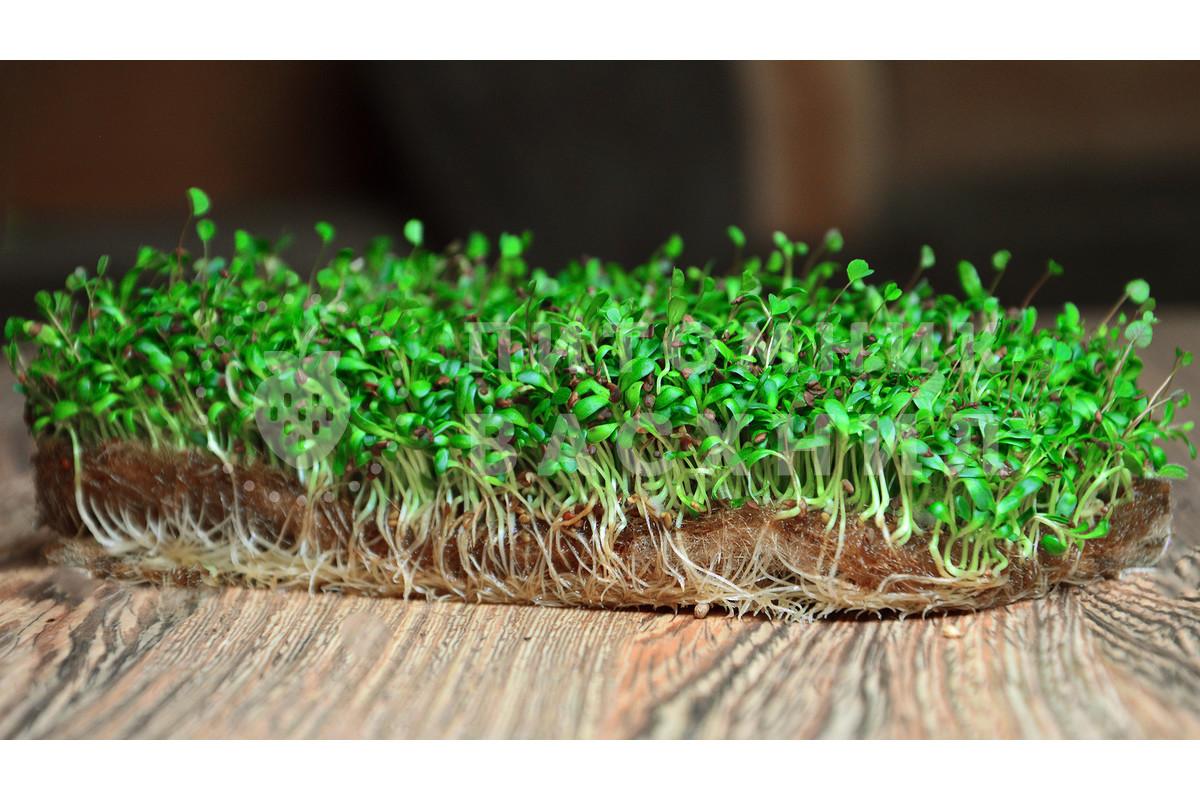 технология люцерна на семена